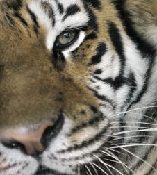 Free Tiger Close Up Stock Photography - 8960862