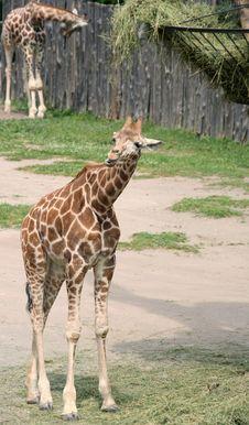 Cub Of Giraffe Stock Photo