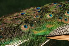 Free Peacock Feathers Royalty Free Stock Images - 8961319