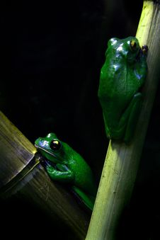Free Two Frogs Royalty Free Stock Images - 8961399