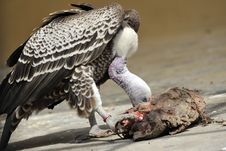 Vulture Eating Meat Royalty Free Stock Photos