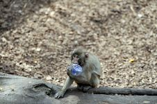 Free Capuchin Monkey Royalty Free Stock Photos - 8962228