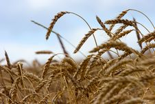Free Wheat Stock Photography - 8962402