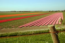 Free Tulip Field Stock Photography - 8963222