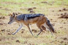 Free Running Jackal Royalty Free Stock Photo - 8963485