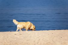 Dog At The Beach Royalty Free Stock Image