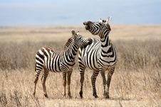 Free Zebras Stock Photo - 8964160