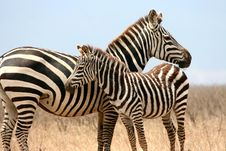 Free Zebra And Her Foal Royalty Free Stock Image - 8964226