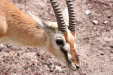 Free Thomsons Gazelle Royalty Free Stock Photography - 8964267