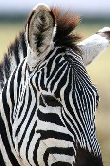 Free Zebra Portrait Royalty Free Stock Image - 8964456