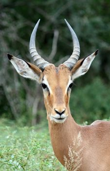 Free Male Impala Portrait Royalty Free Stock Image - 8964466