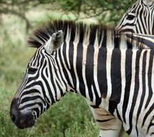 Free Zebra Stock Image - 8964881