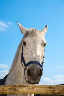Free Head Of The White Horse Royalty Free Stock Images - 8965109