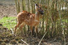 Free Fallow Deer Stock Photography - 8965342