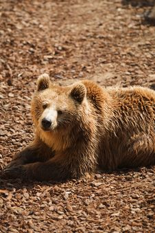 Free Brown Bear - Ursus Arctors Royalty Free Stock Photos - 8965358