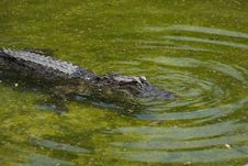 Free Alligator Mississipiensis Royalty Free Stock Images - 8965399