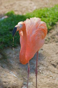Free Flamingo - Phoenicopterus Ruber Ruber Stock Photo - 8965420