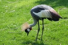 Free Crowned Crane - Balearica Pavonina Stock Photos - 8965443