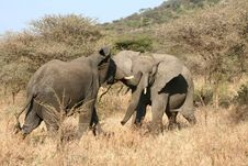 Free Elephants Fighting Stock Photo - 8966160