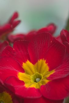 Free Primula Flower Royalty Free Stock Photography - 8966507