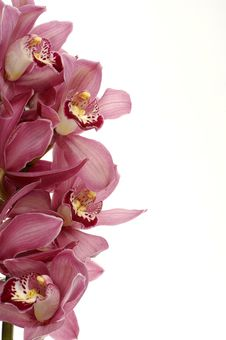 Free Beautiful Orchid Royalty Free Stock Image - 8966766