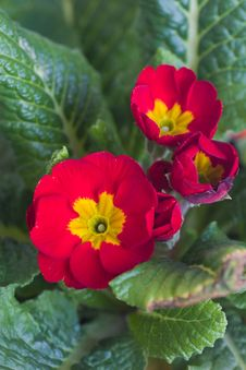 Free Primula Flower Stock Photo - 8967020