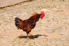 Free Rooster On Rustic Street Stock Photos - 8969743