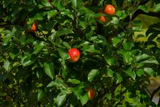 Free Red Apples In Tree Royalty Free Stock Images - 89636219