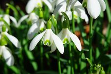 Free Snowdrop Flowers Stock Images - 89637444