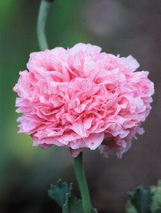 Free Pink Petals Flower Stock Image - 89638051