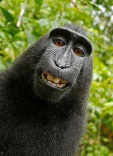 Free Black Chimpanzee Smiling Royalty Free Stock Photography - 89638187