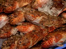 Free Ocean Perch Royalty Free Stock Photography - 89690777