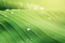 Free Banana Leaf With Water Drops Royalty Free Stock Photo - 89693145