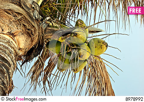 Free Coconuts Stock Photography - 8978992