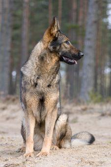 Free Germany Sheepdog Stock Photos - 8970453