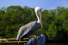 Free Pelican Perching Royalty Free Stock Image - 8971066
