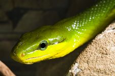 Free Red Tailed Racer Stock Photography - 8971742