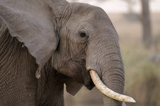 Free Tilted Tusker Royalty Free Stock Photo - 8972615