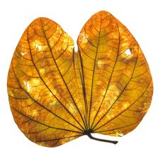 Free Leaf Royalty Free Stock Photo - 8973725