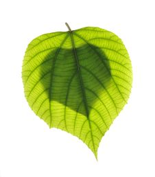 Free Leaf Royalty Free Stock Images - 8973799