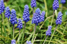 Free Sapphire Grape Hiacynth Flowers Royalty Free Stock Photo - 8976235