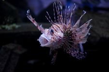Free Lionfish Stock Image - 8976361