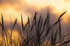 Free Silhouette Photo Of Wheat During Sunset Royalty Free Stock Image - 89740436