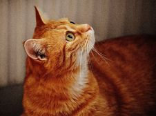 Free Ginger Cat Royalty Free Stock Photography - 89740747