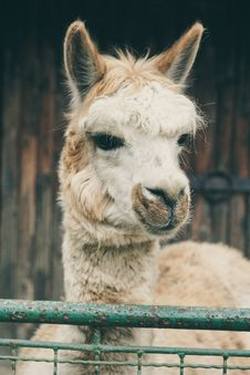 Free Llama Close Up Stock Photos - 89741223