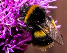 Free Close-up Of Bee On Purple Flower Royalty Free Stock Image - 89741716