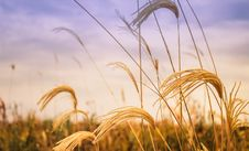 Free Golden Wheat In Field At Sunset Stock Image - 89742321