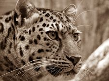 Free Leopard Stock Photo - 89742620