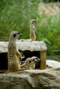 Free Meerkat Royalty Free Stock Photos - 8986358
