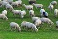 Free Sheep Royalty Free Stock Photo - 8989155